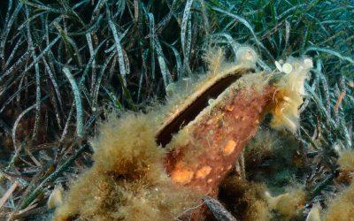 A sonkakagyló kihalásától tartanak a horvát tengerbiológusok