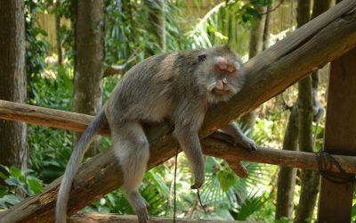 Nincsenek turisták: Bali éhes majmoktól szenved